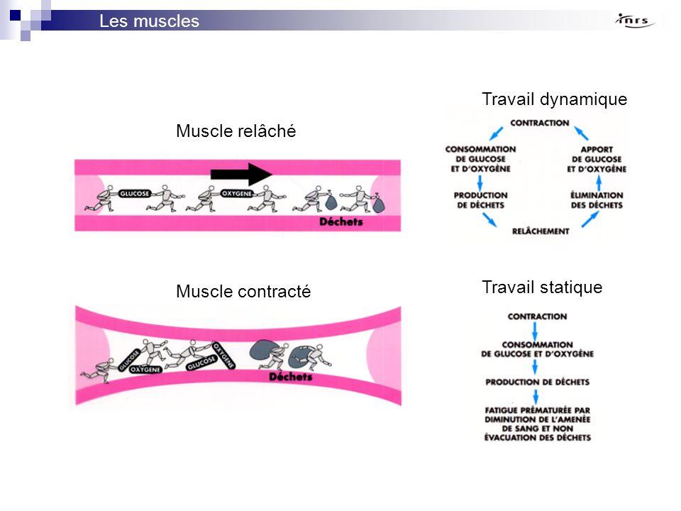 Les muscles Travail dynamique Travail statique Muscle relâché Muscle contracté