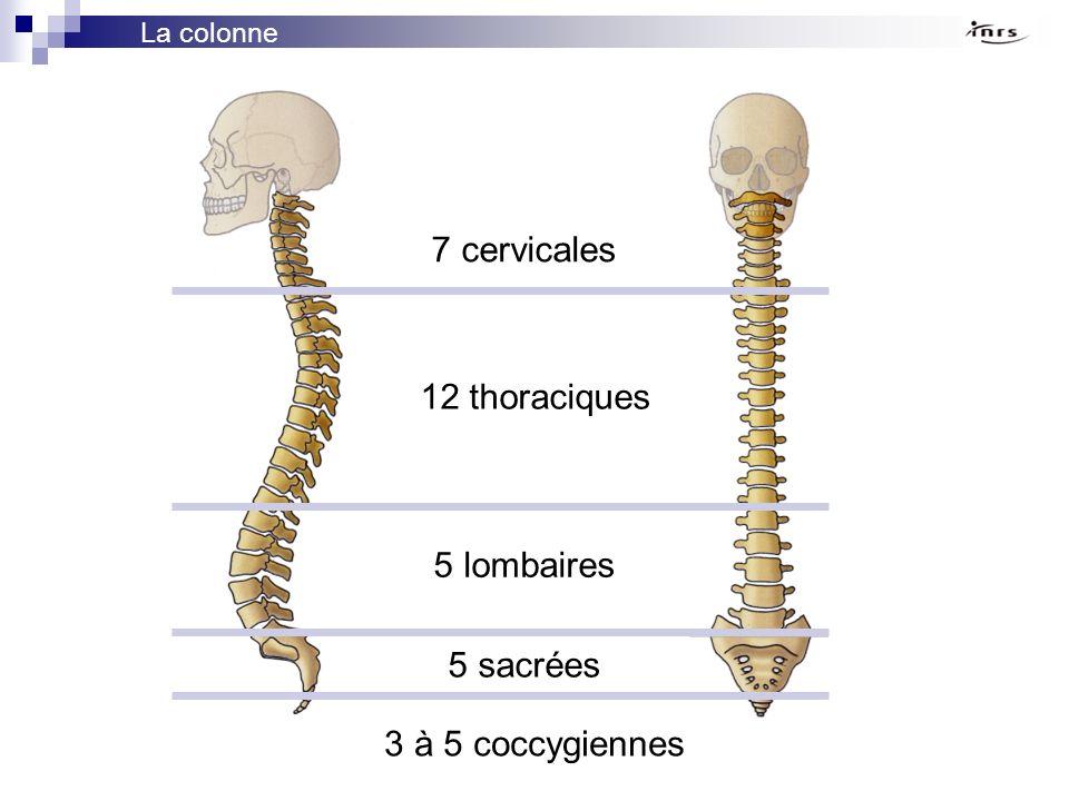 7 cervicales 12 thoraciques 5 lombaires 5 sacrées 3 à 5 coccygiennes