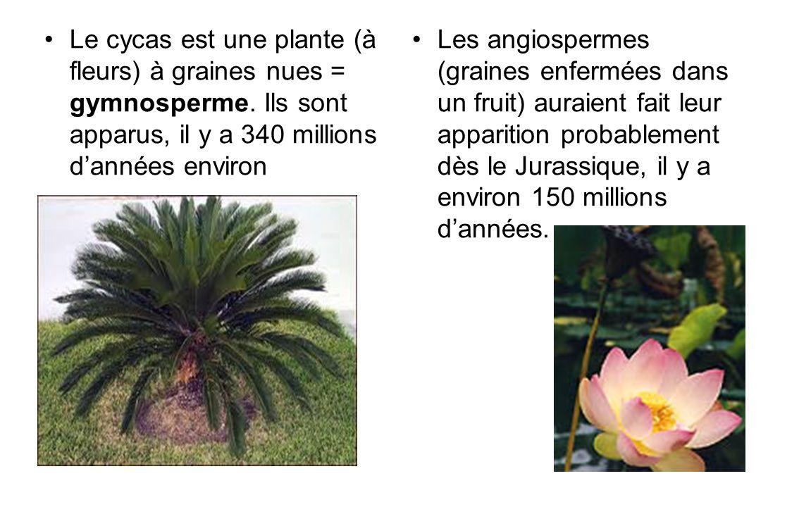 Le cycas est une plante (à fleurs) à graines nues = gymnosperme