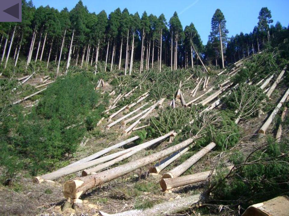Des forêts sont dévastées pour cultiver du soja qui nourrira le bétail de toute la planète ou de la canne à sucre pour les agro-carburants comme en Amazonie, pour planter des palmiers à huile comme en Indonésie…