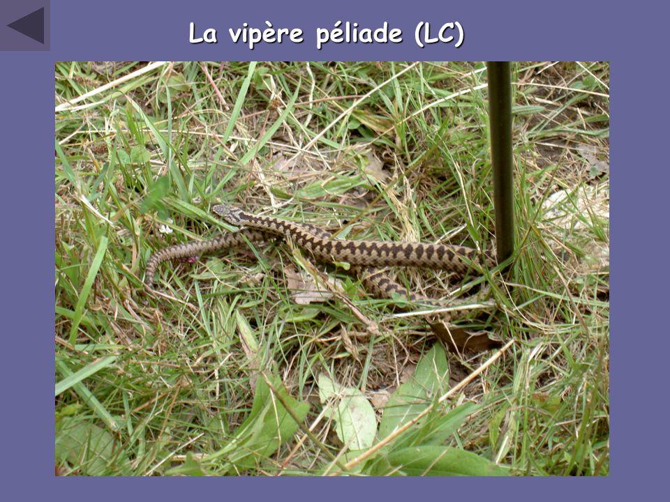 La vipère péliade (LC)