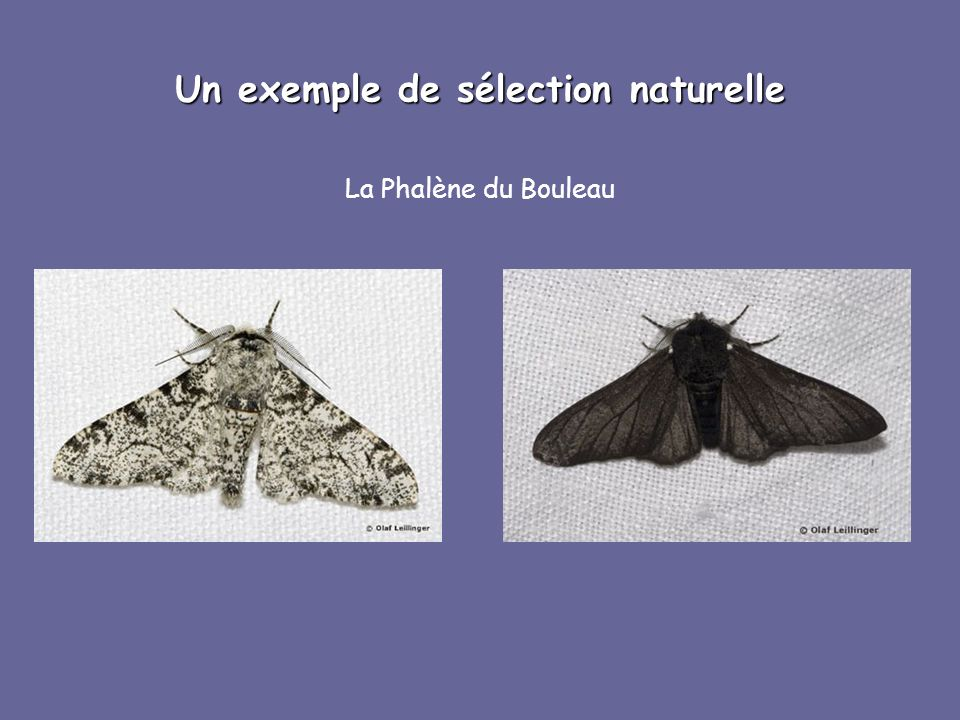 Un exemple de sélection naturelle