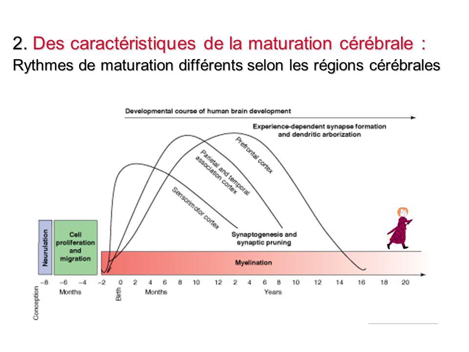 2. Des caractéristiques de la maturation cérébrale :