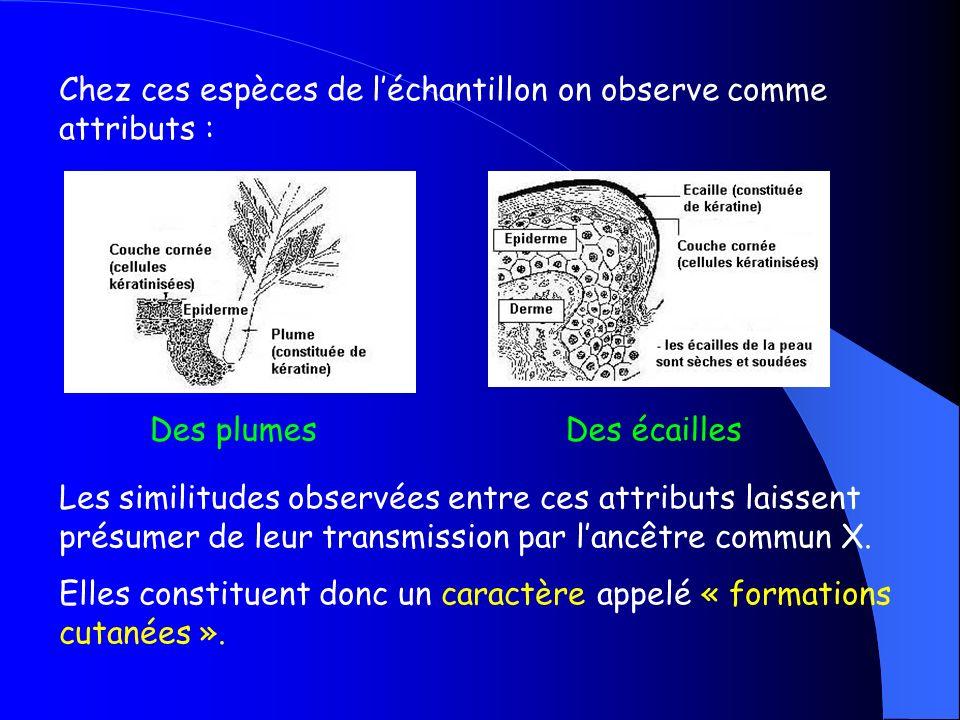 Chez ces espèces de l'échantillon on observe comme attributs :