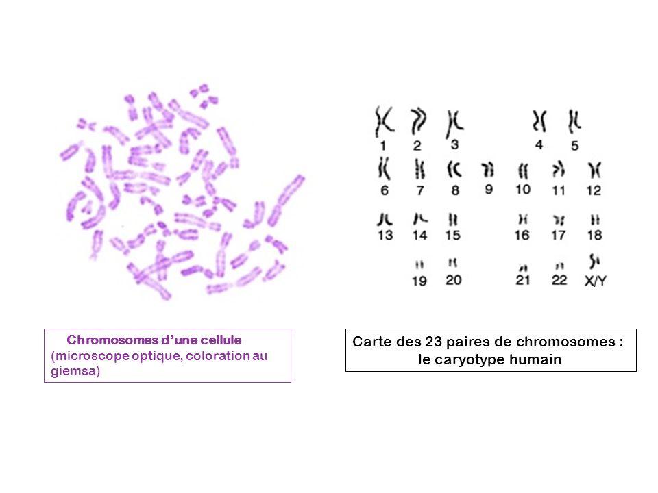 Carte des 23 paires de chromosomes : le caryotype humain