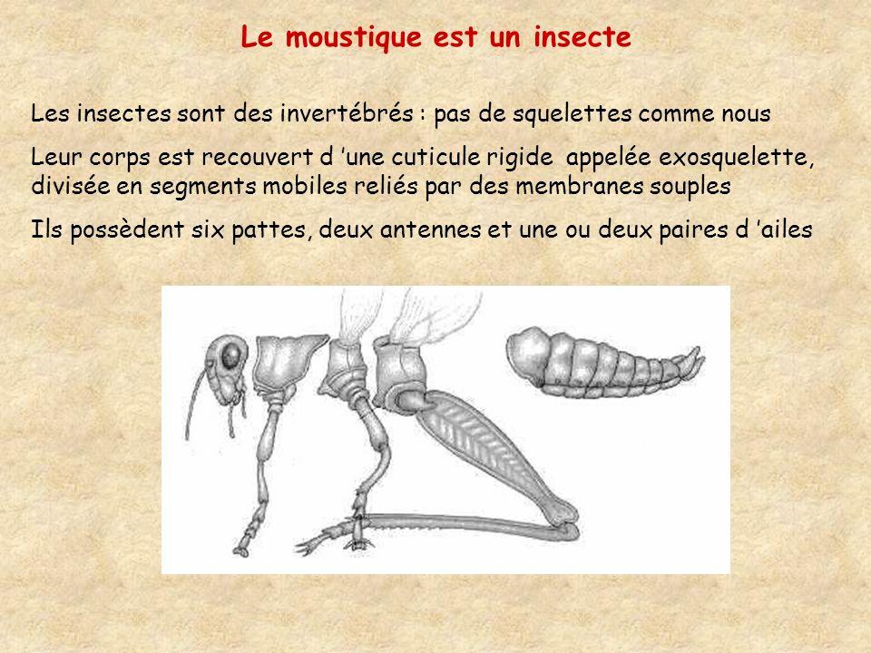 Le moustique est un insecte
