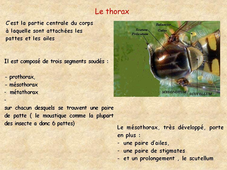 Le thorax