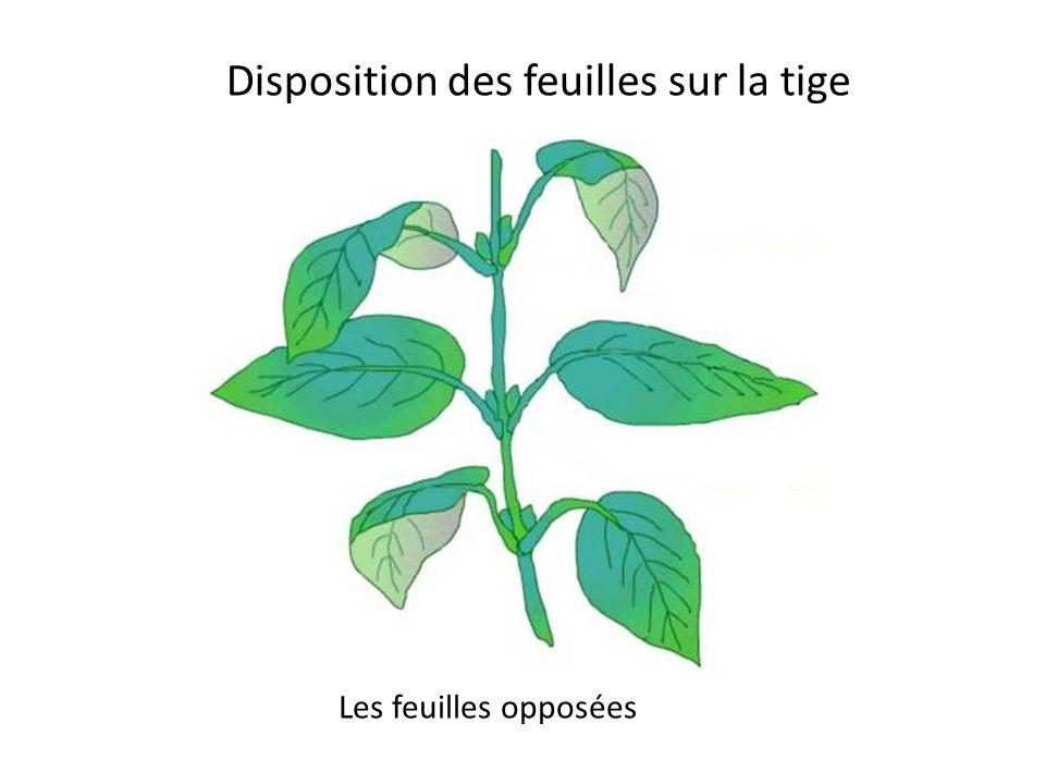 Disposition des feuilles sur la tige