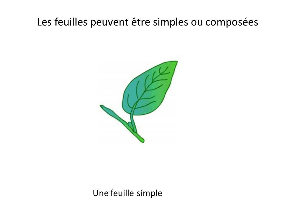 Les feuilles peuvent être simples ou composées
