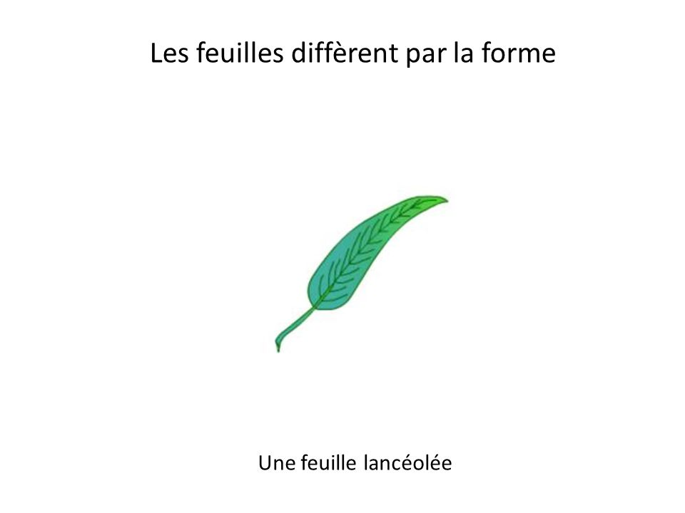 Les feuilles diffèrent par la forme