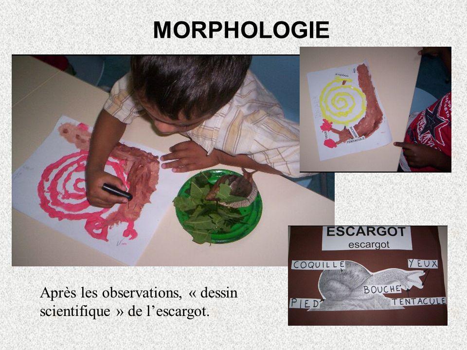 MORPHOLOGIE Après les observations, « dessin scientifique » de l'escargot.