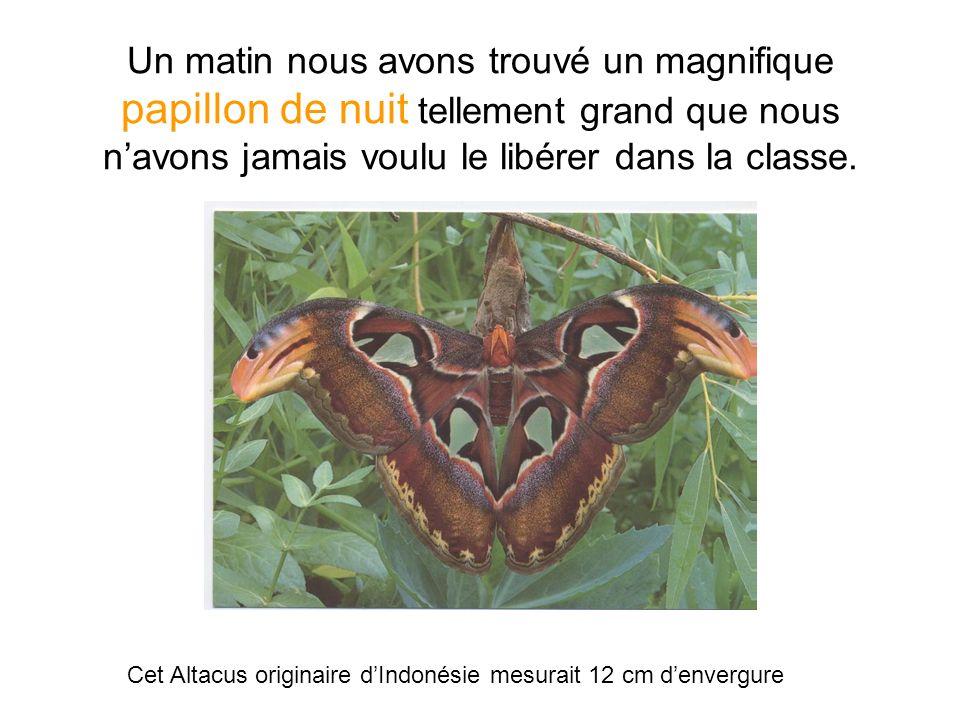 Un matin nous avons trouvé un magnifique papillon de nuit tellement grand que nous n'avons jamais voulu le libérer dans la classe.
