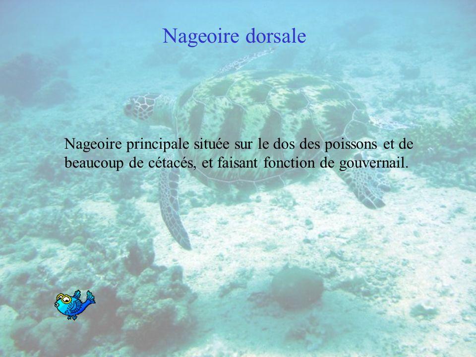 Nageoire dorsaleNageoire principale située sur le dos des poissons et de beaucoup de cétacés, et faisant fonction de gouvernail.