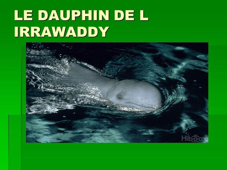 LE DAUPHIN DE L IRRAWADDY