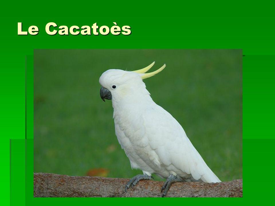 Le Cacatoès