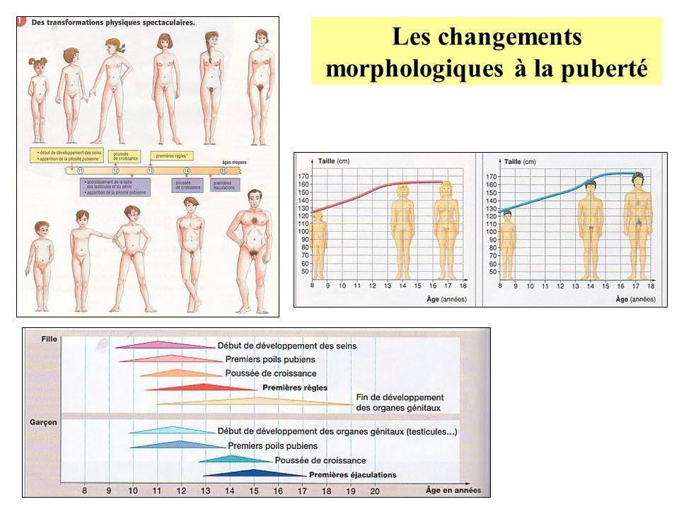 Les changements morphologiques à la puberté