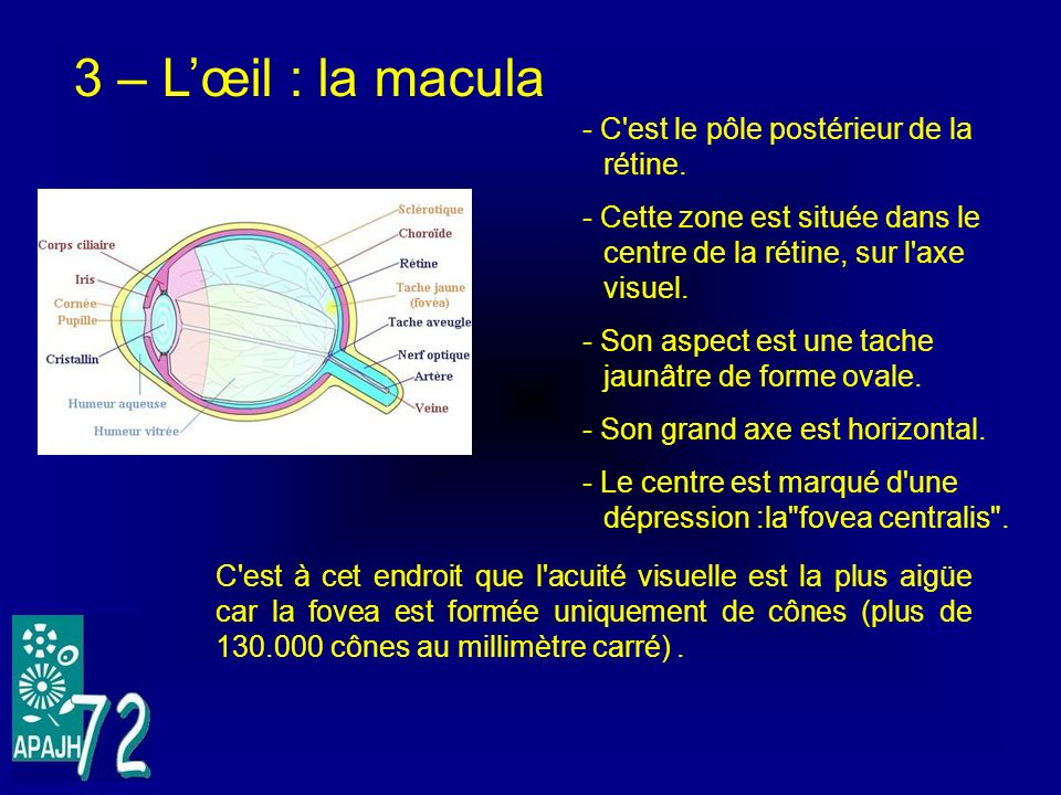3 – L'œil : la macula - C est le pôle postérieur de la rétine.