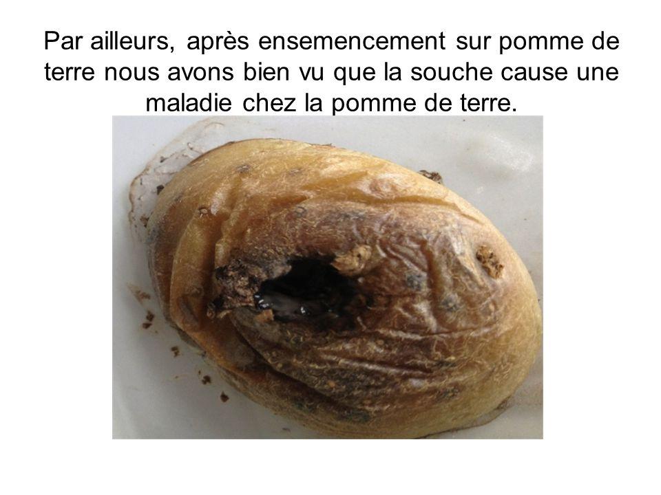 Par ailleurs, après ensemencement sur pomme de terre nous avons bien vu que la souche cause une maladie chez la pomme de terre.