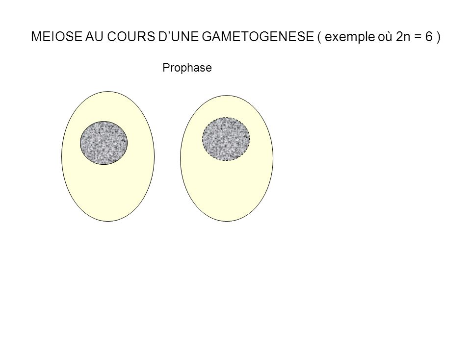 MEIOSE AU COURS D'UNE GAMETOGENESE ( exemple où 2n = 6 )