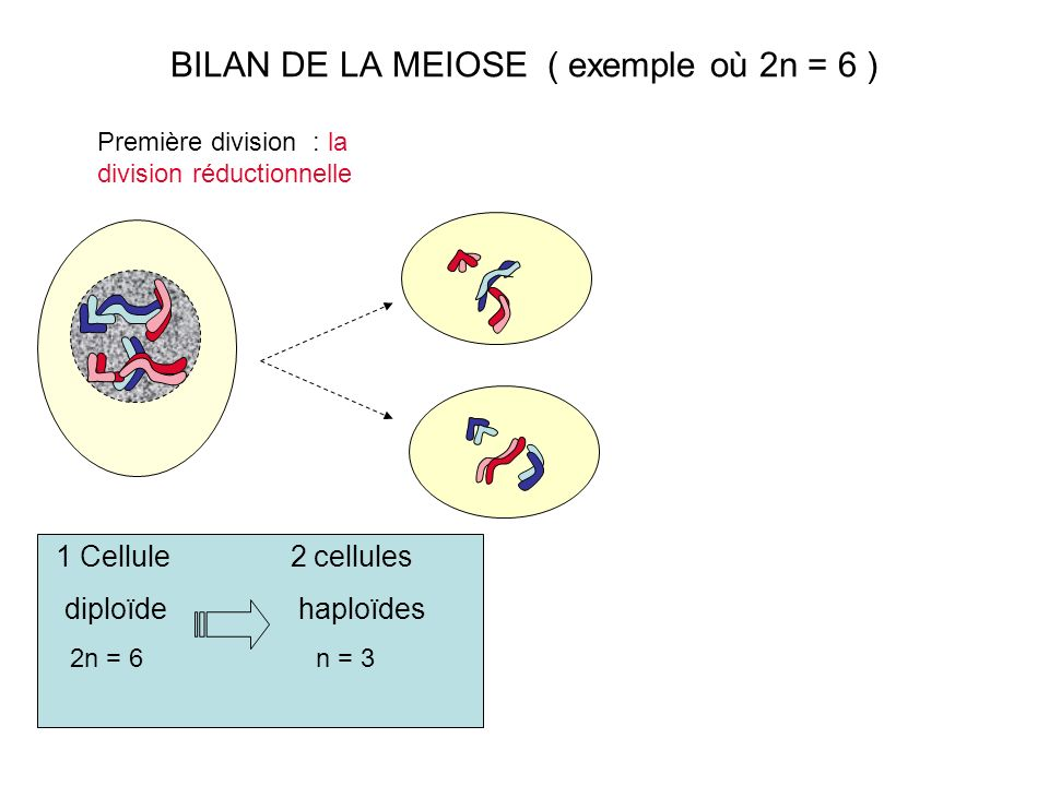 BILAN DE LA MEIOSE ( exemple où 2n = 6 )