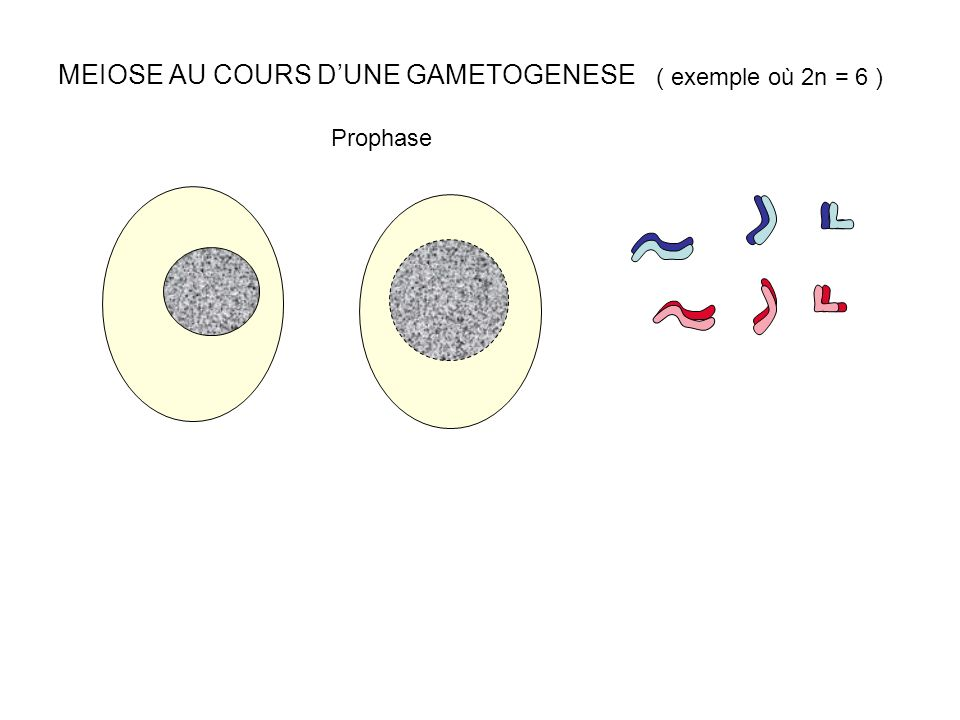 MEIOSE AU COURS D'UNE GAMETOGENESE