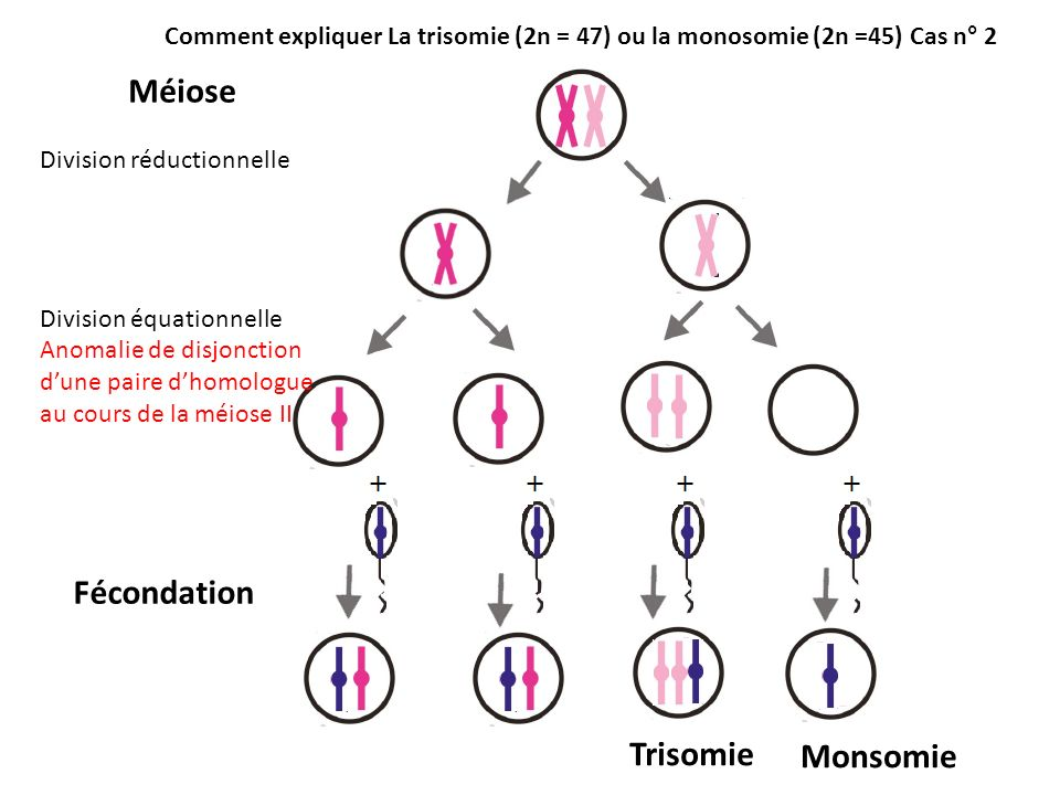 Méiose Fécondation Trisomie Monsomie