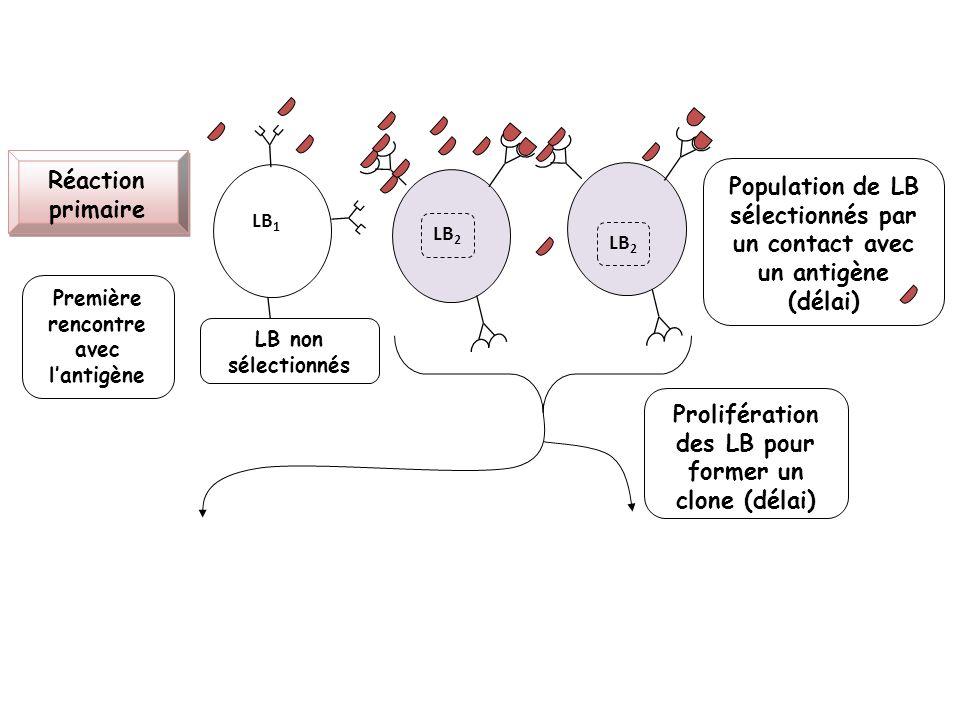 Population de LB sélectionnés par un contact avec un antigène (délai)