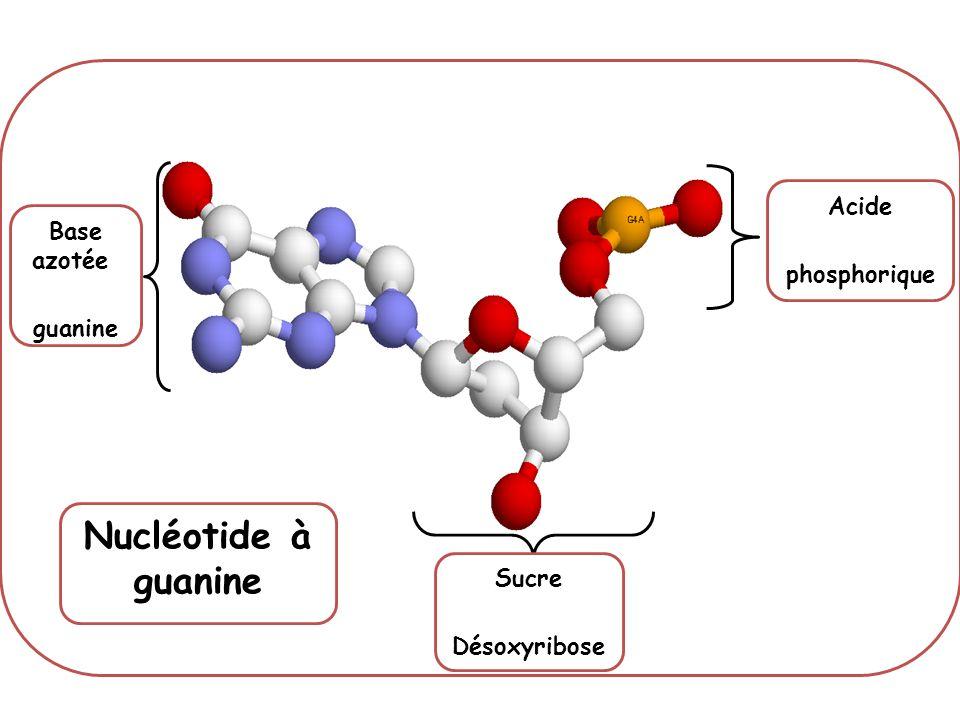 Nucléotide à guanine Acide phosphorique Base azotée guanine