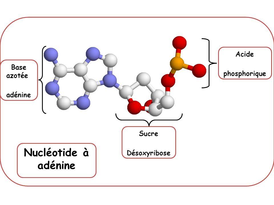 Nucléotide à adénine Acide phosphorique Base azotée adénine