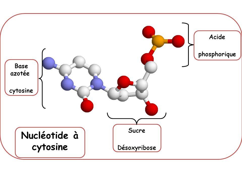 Nucléotide à cytosine Acide phosphorique Base azotée cytosine