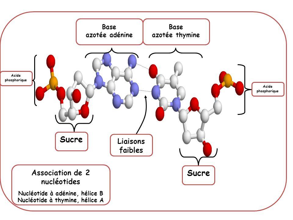 Sucre Sucre Liaisons faibles Association de 2 nucléotides