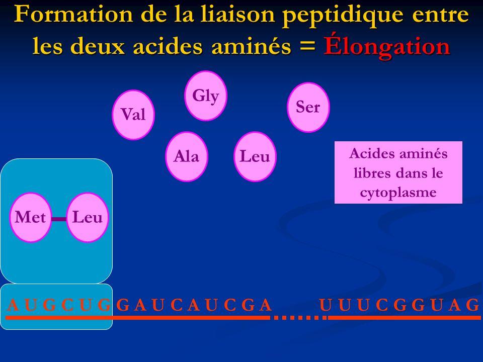 Acides aminés libres dans le cytoplasme