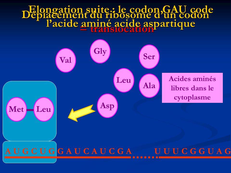 Déplacement du ribosome d'un codon = translocation