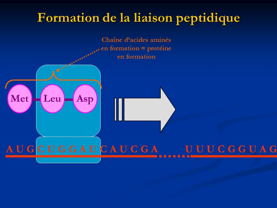 Formation de la liaison peptidique