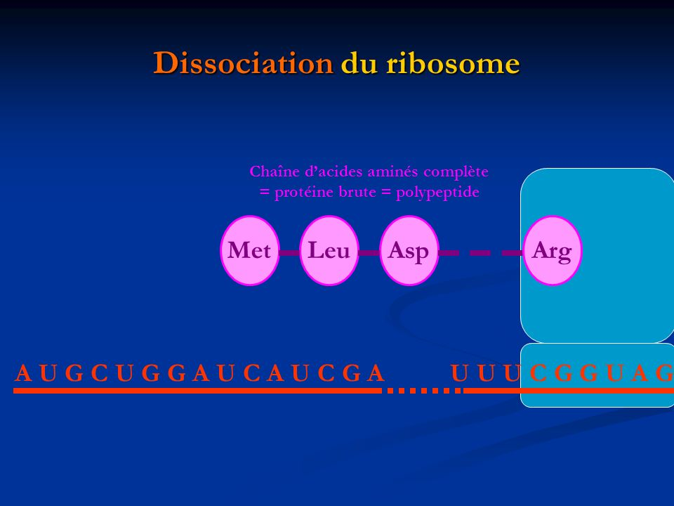 Dissociation du ribosome