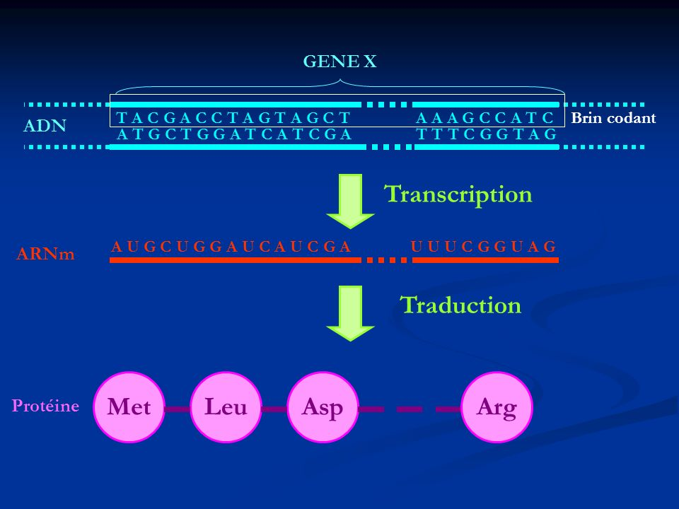 Transcription Traduction Met Leu Asp Arg GENE X ADN ARNm Protéine