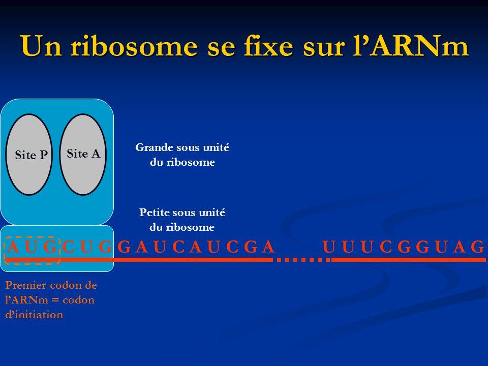 Un ribosome se fixe sur l'ARNm