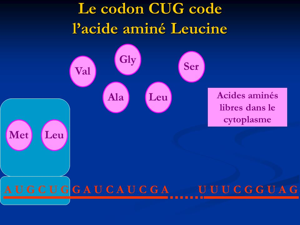 Le codon CUG code l'acide aminé Leucine
