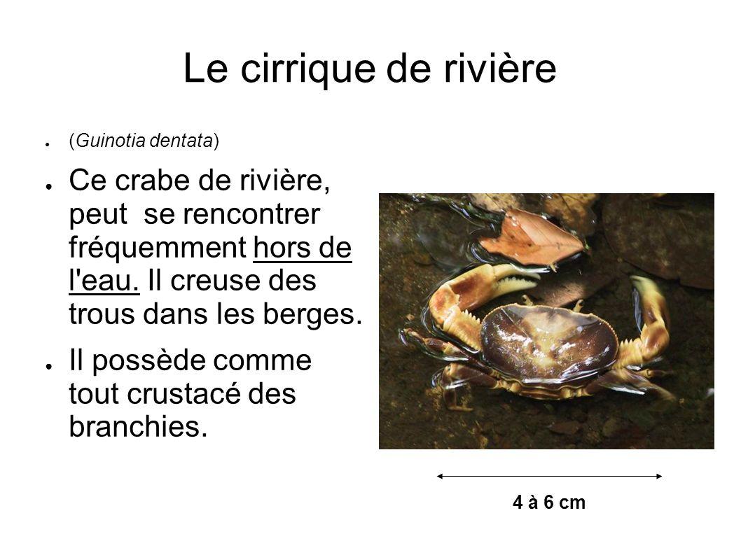 Le cirrique de rivière (Guinotia dentata)