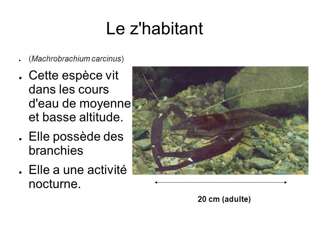 Le z habitant (Machrobrachium carcinus) Cette espèce vit dans les cours d eau de moyenne et basse altitude.