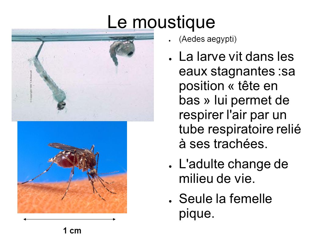 Le moustique (Aedes aegypti)
