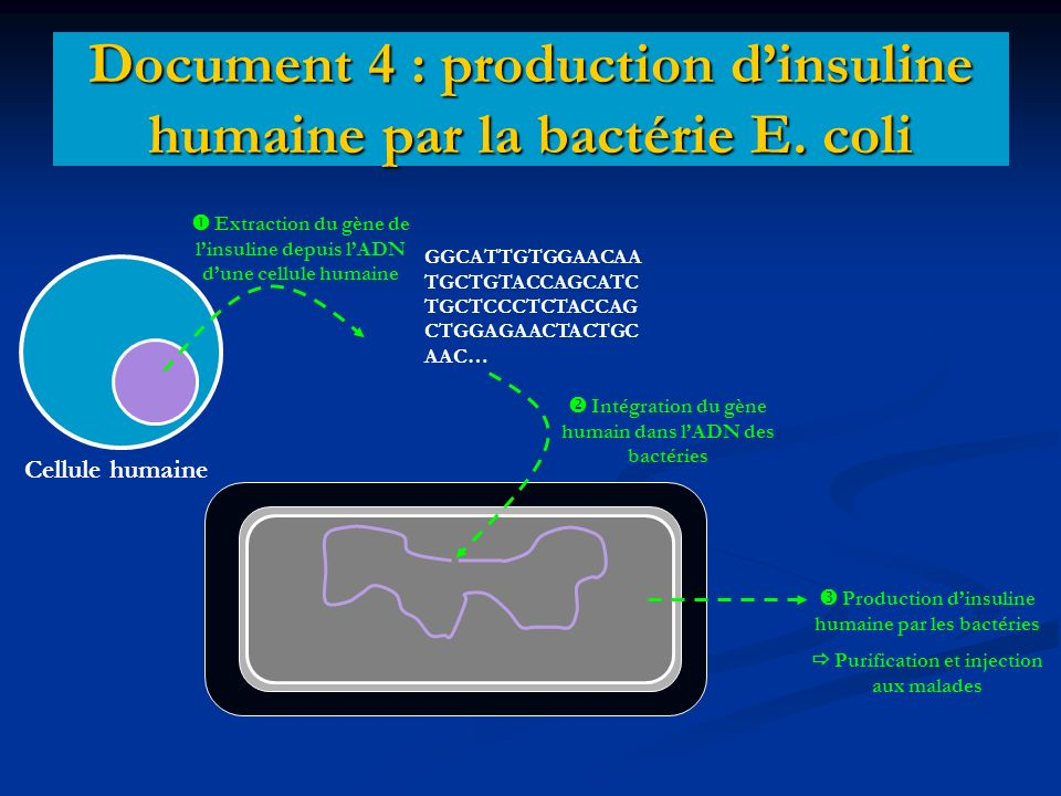 Document 4 : production d'insuline humaine par la bactérie E. coli