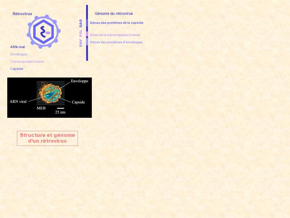 Structure et génome d'un rétrovirus Rétrovirus Génome du rétrovirus
