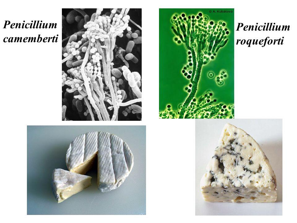 Penicillium camemberti Penicillium roqueforti