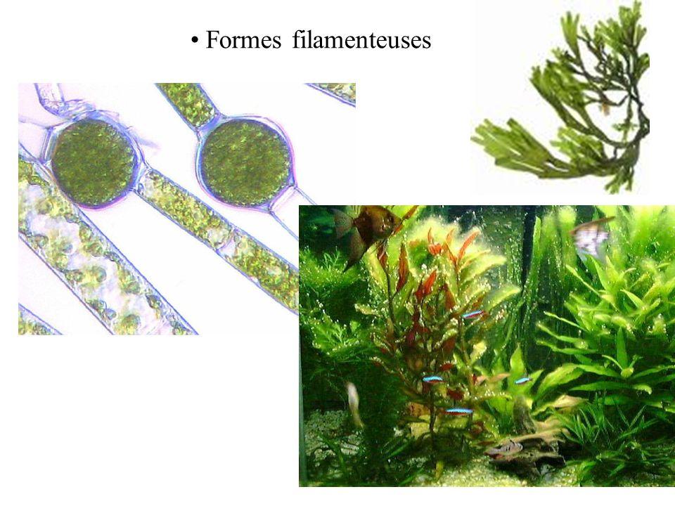 Formes filamenteuses