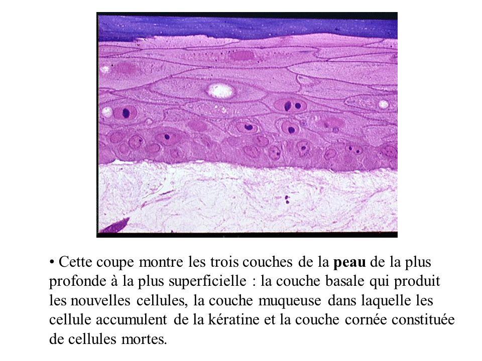 Cette coupe montre les trois couches de la peau de la plus profonde à la plus superficielle : la couche basale qui produit les nouvelles cellules, la couche muqueuse dans laquelle les cellule accumulent de la kératine et la couche cornée constituée de cellules mortes.