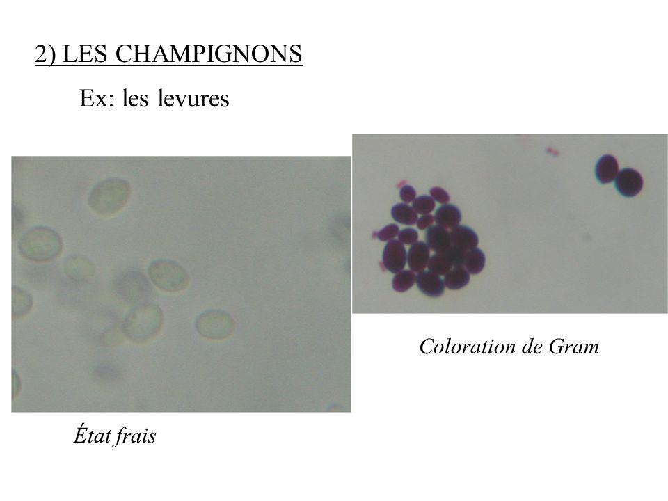 2) LES CHAMPIGNONS Ex: les levures Coloration de Gram État frais