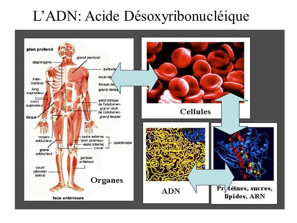 L'ADN: Acide Désoxyribonucléique