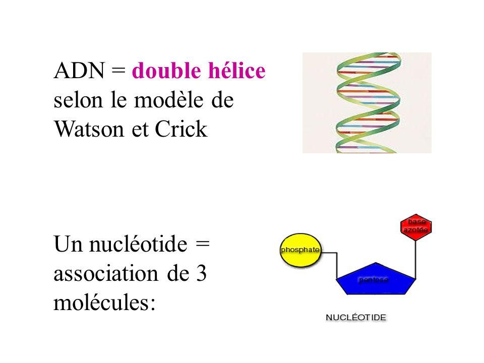 ADN = double hélice selon le modèle de Watson et Crick