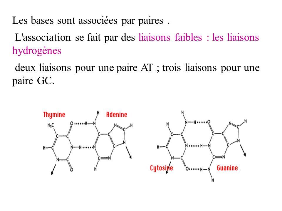 Les bases sont associées par paires .